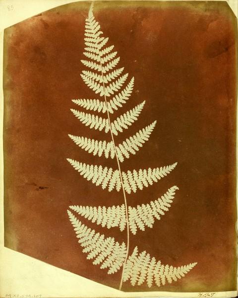 Una delle foglie impresse sulla carta da Talbot