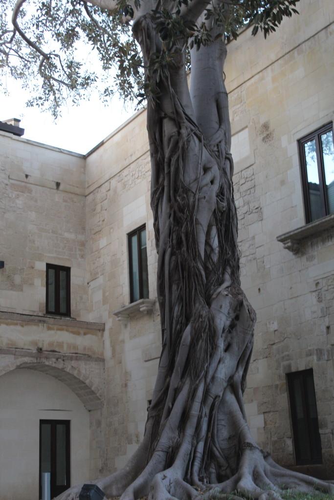 Il ficus secolare nel conservatorio di S. Anna a Lecce. Foto dell'autrice
